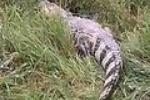 По Екатеринбургу бегает настоящий крокодил!